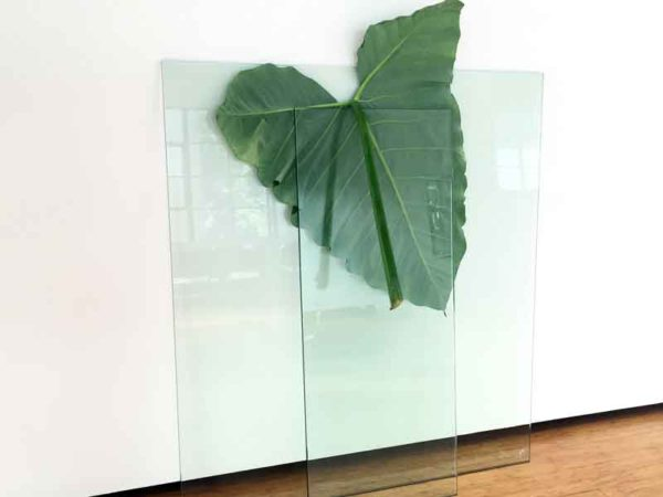 Anna McMahon: 'Untitled # 2' from the series Being Found Out, 2016, safety glass, elephant ear leaf